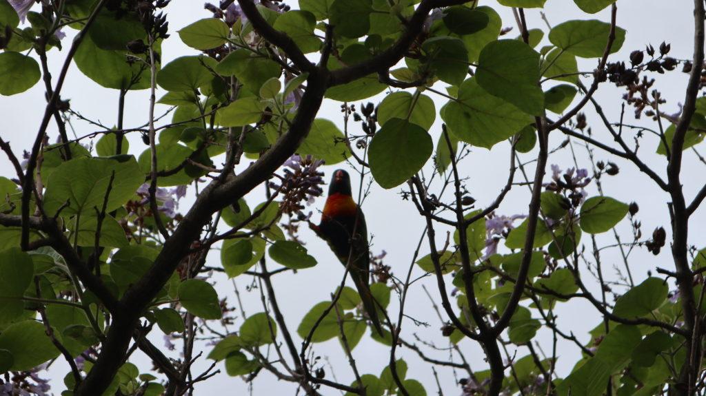 Erste Eindrücke Australien: Papagei