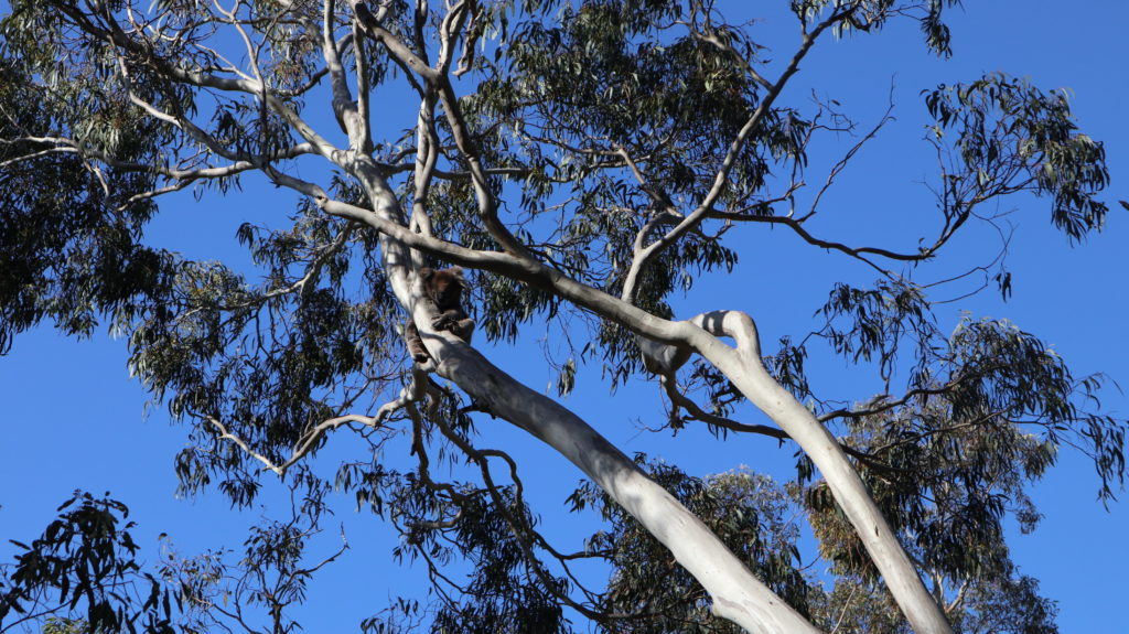 Belair Nationalpark erstes Koalafoto