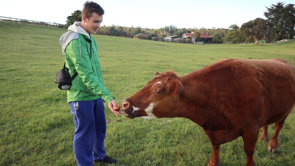 Daniel füttert eine Kuh