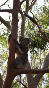 Yanchep Nationalpark: Koala am Baum