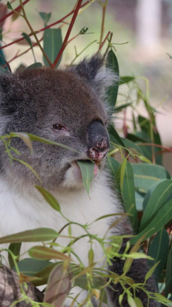 Koala isst