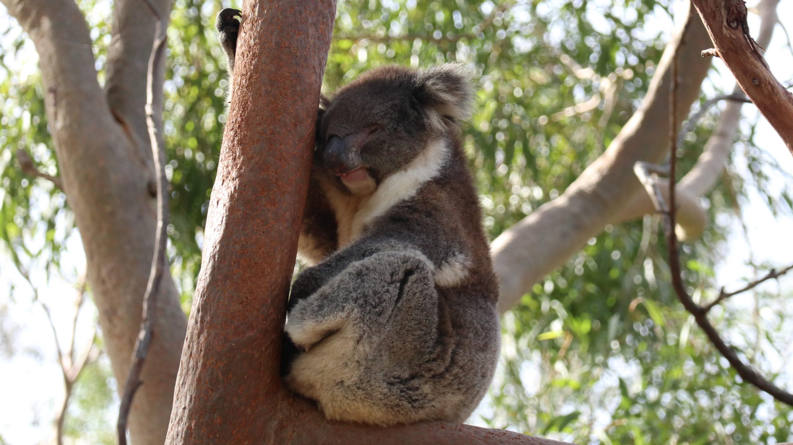 Yanchep Nationalpark: Koala schläft
