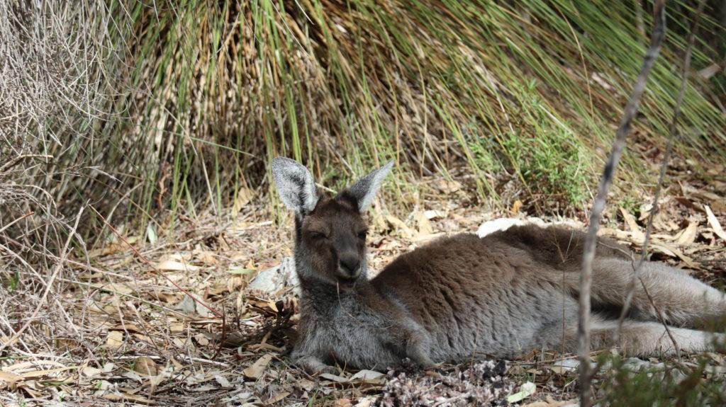 Yanchep Nationalpark: Känguru
