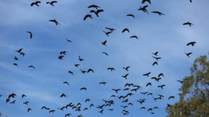 Yanchep Nationalpark: Vogelschwarm
