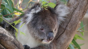 Yanchep Nationalpark: Koala