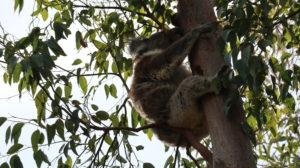 Koala schläft