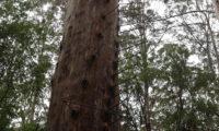 Gloucester Tree