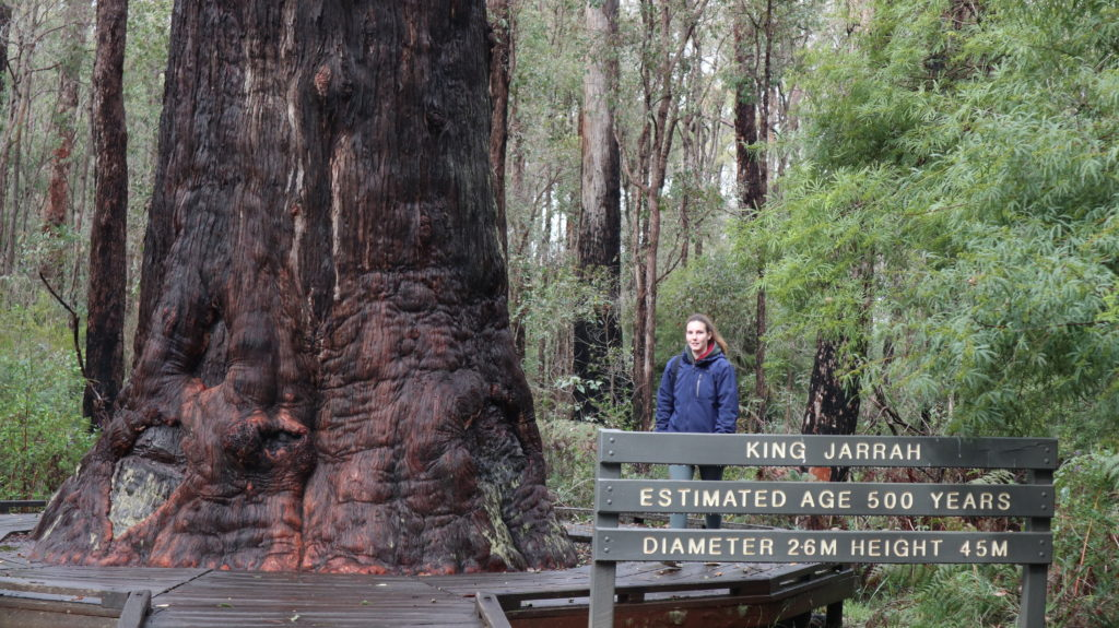Der Süd-Westen Australiens: Kinh Jarrah Tree