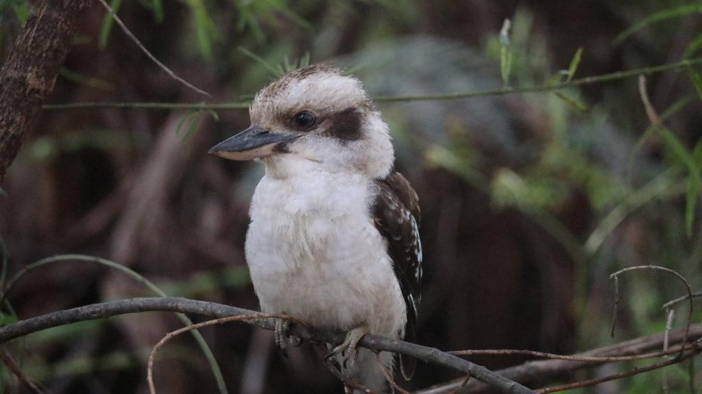 Der Süd-Westen Australiens: Vogel