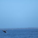 Buckelwale in Busselton