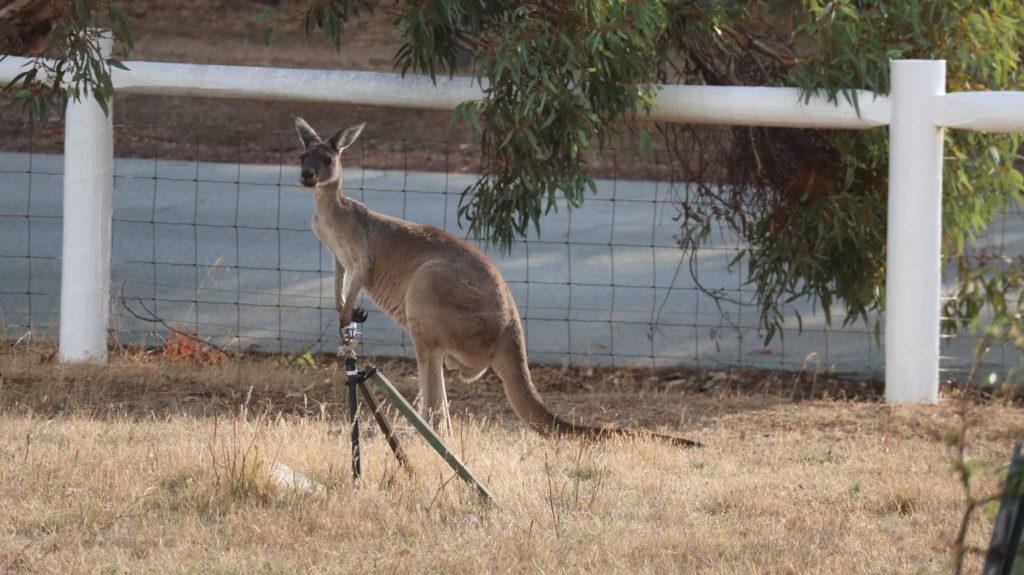 unser drittes Housesitting: Känguru im Garten