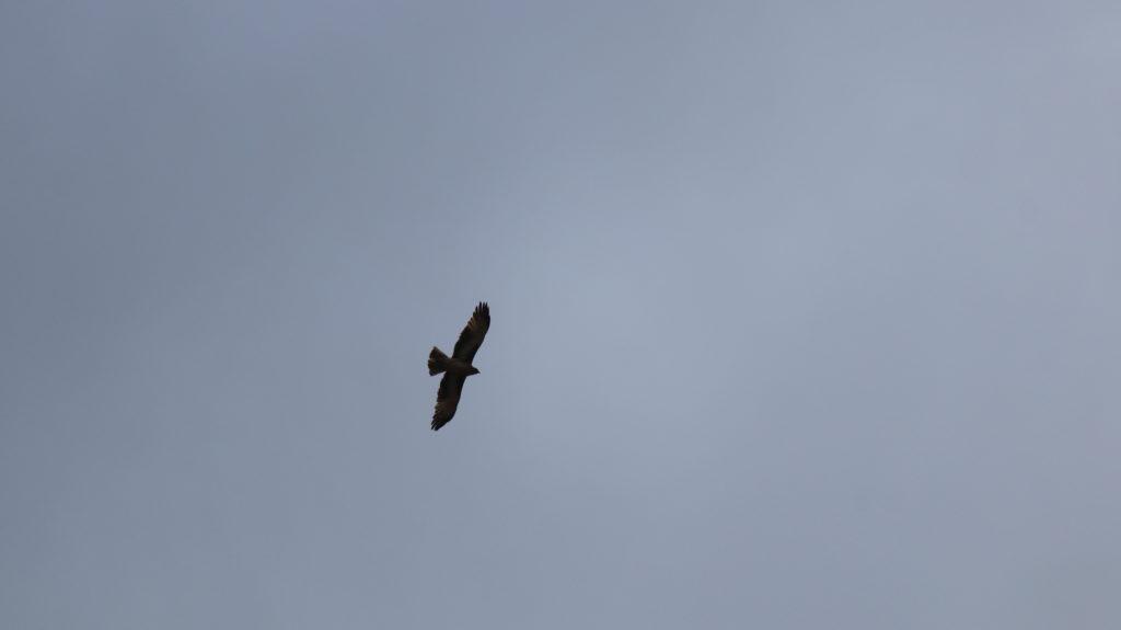 Kalbarri Nationalpark Adler