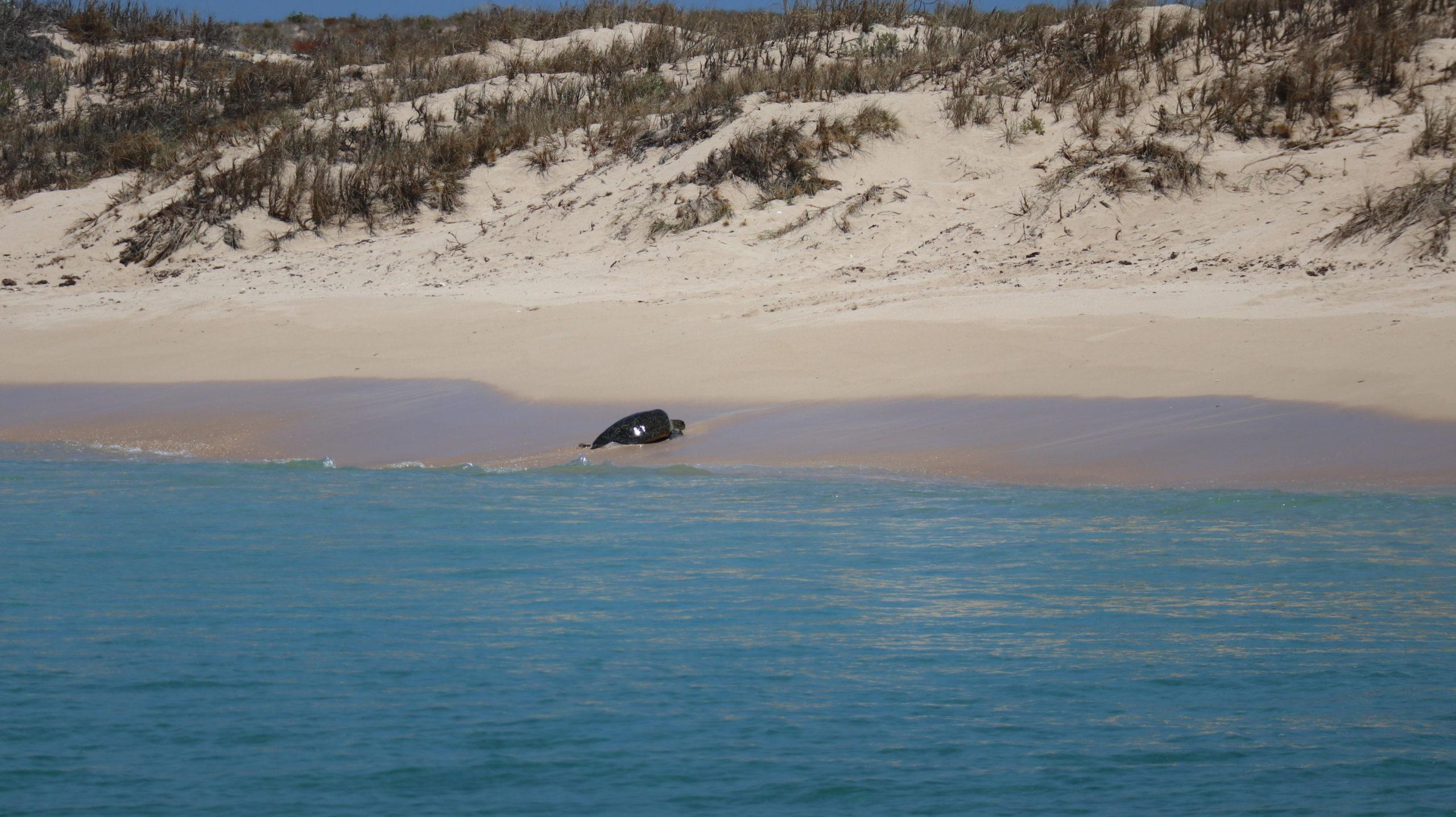 Schnorcheltour am Ningaloo Reef: Schildkröte