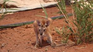 Känguru in Port Hedland