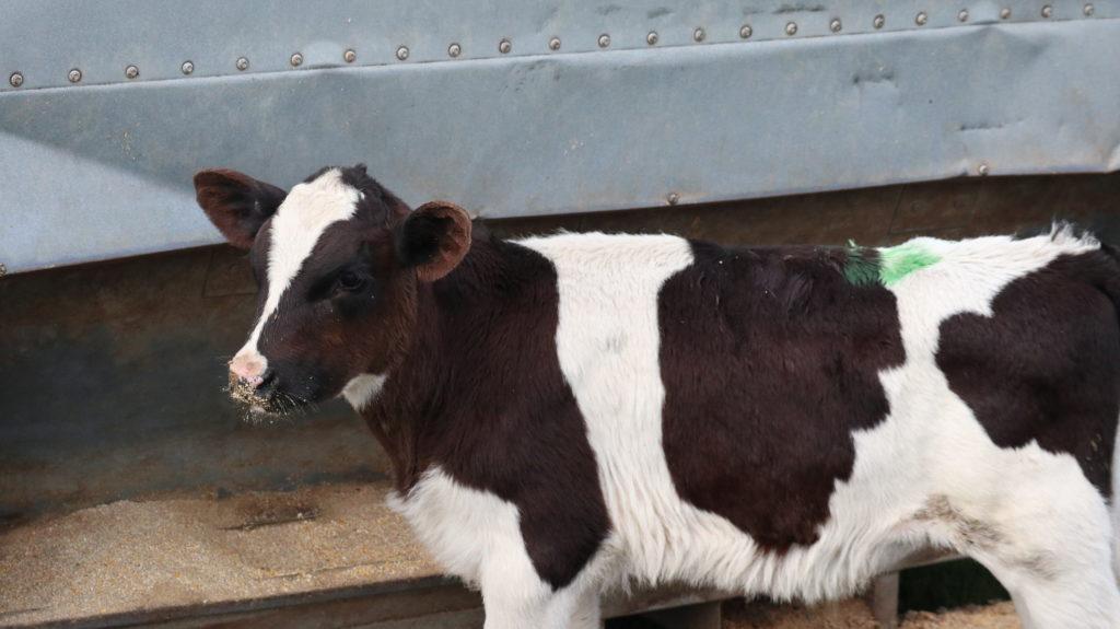 Nie wieder Milchfarm - Schon wieder Milchfarm! Kalb