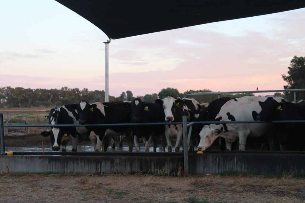 Kühe im Feedpanel auf der Farm, direkt hinter unserem Haus