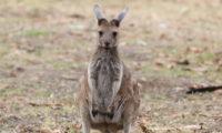Dinge die du über Australien wissen solltest: Känguru