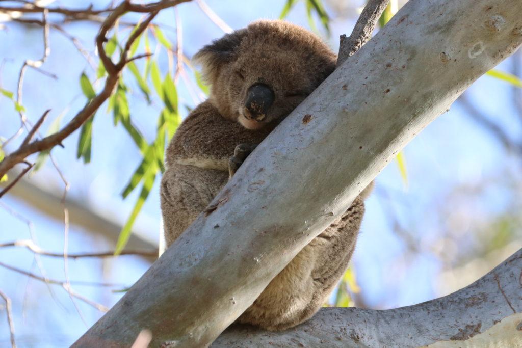 Koalarun: Koala schlafend im Baum