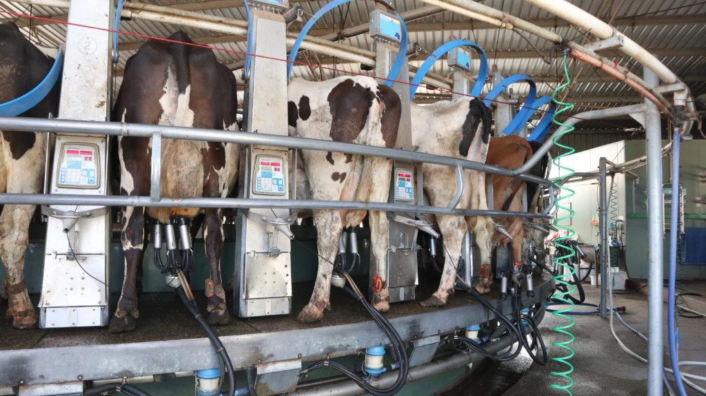 Halbzeit: Kühe, die gemolken werden