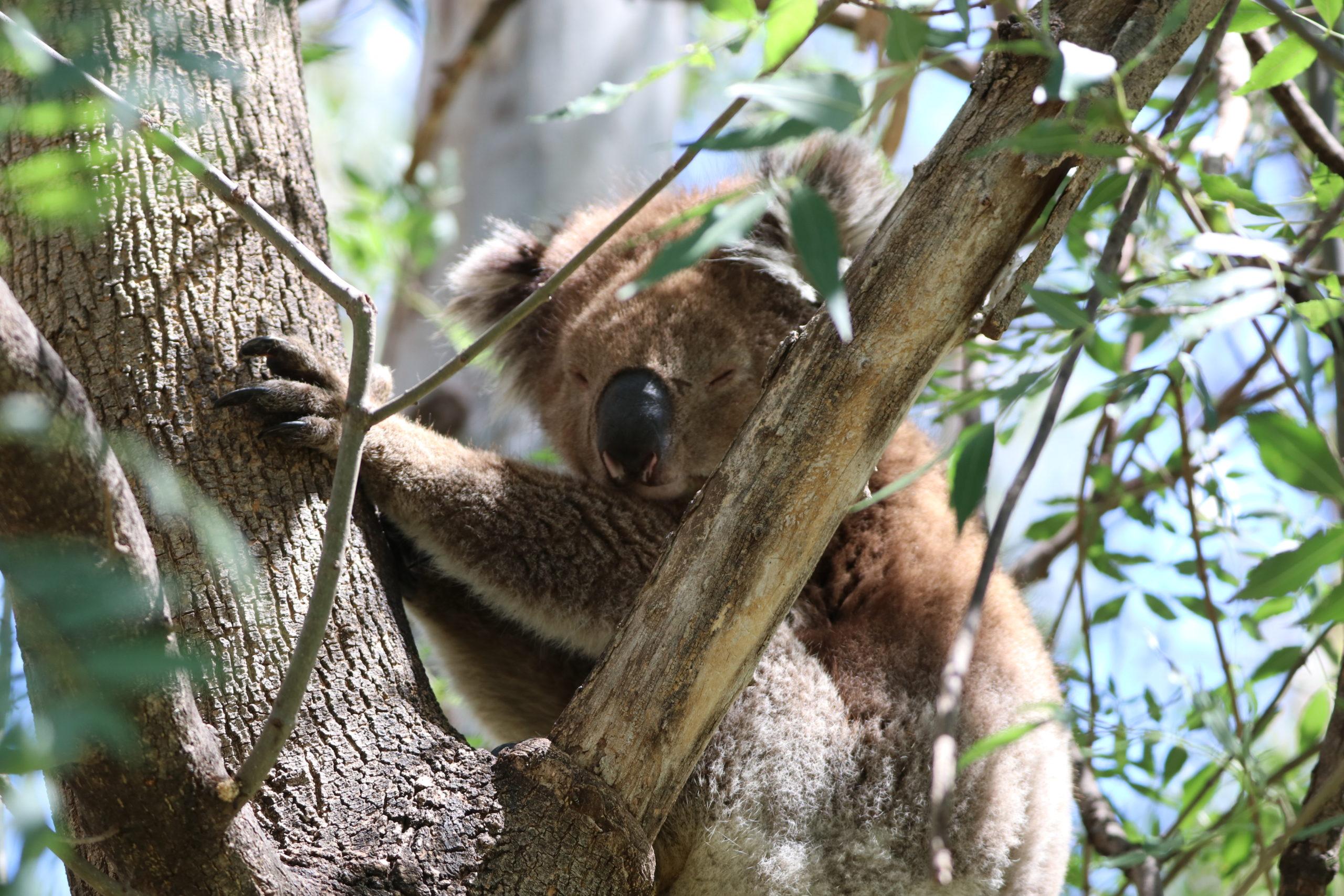 Cobram Koala