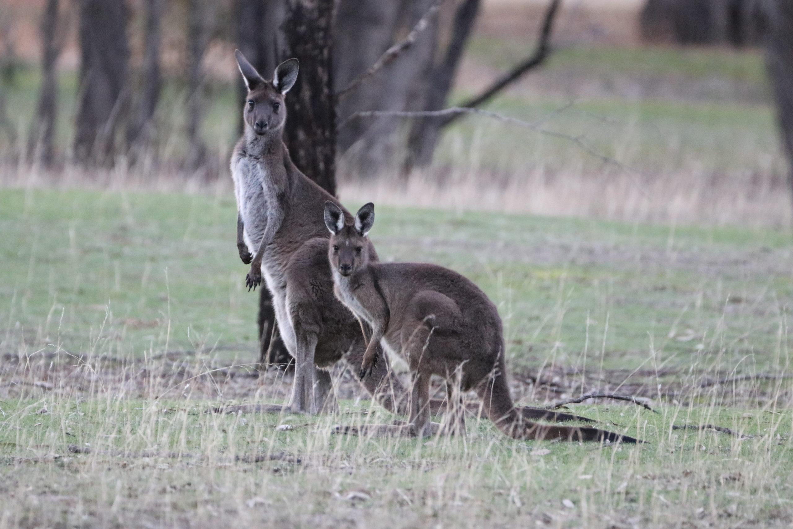Rundreise durch Victoria: Kängurus