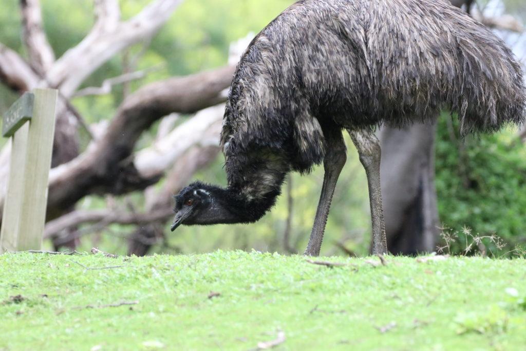 Tower Hill Wildlife Reserve: Emu