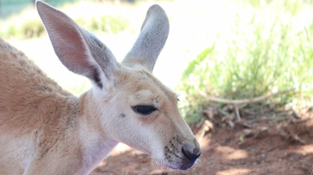 Kangaroo Retreat: Känguru
