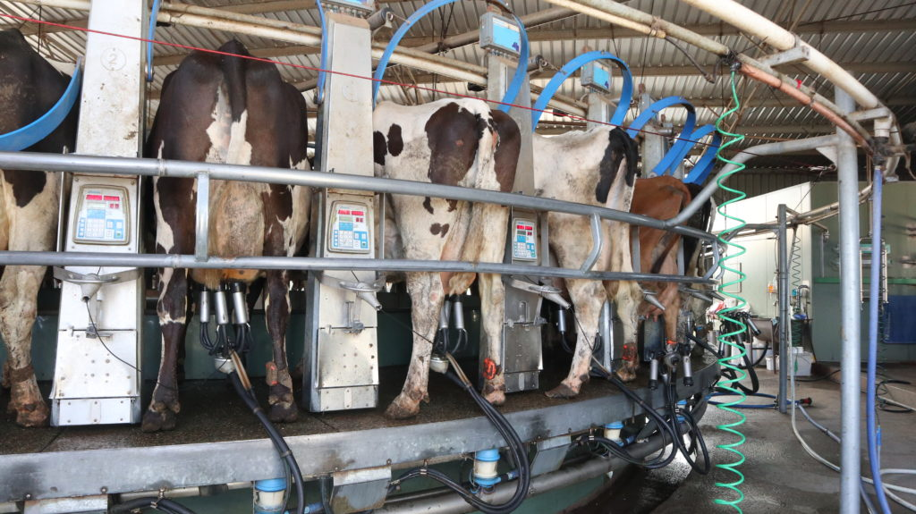 Sechs Monate Farmarbeit: Kühe